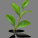 Растение кошачий коготь