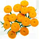 Цветки пижмы обыкновенной
