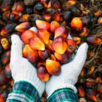 Плоды из которой добывают масло пальмовое