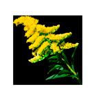 Растение золотарник - миниатюра меню