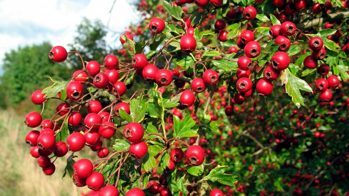 Растение Ашваганда